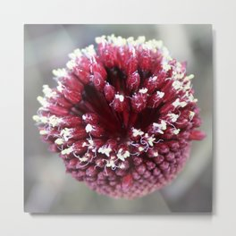 Macro of Round-Headed Leek Flower Allium Sphaerocephalon Metal Print