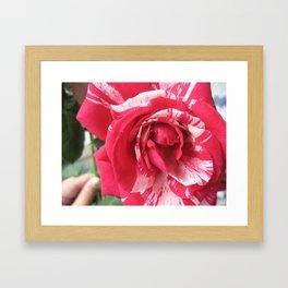 Striped Rose Framed Art Print