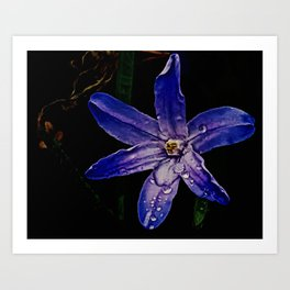 Chionodoxa, Glory-Of-The-Snow Art Print