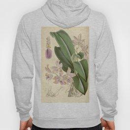 Phalaenopsis lueddemanniana Curtis' 91 (Ser. 3 no. 21) pl. 5523 (1865) Hoody