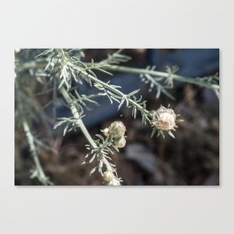small buds Canvas Print