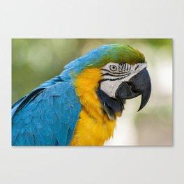 Blue Yellow Parrot (Bird Photography) Canvas Print