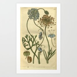 Flower 2875 didiscus caeruleus Blue flowered Didiscus10 Art Print