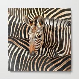 Portrait Of A Zebra - Modern Wildlife Photography Art Metal Print