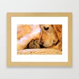 Golden Retriever and her baby bunnies Framed Art Print