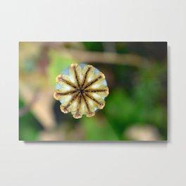 Poppy seed pod. Metal Print