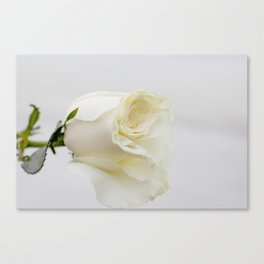 White Rose with Unfolding Petals Photograph Canvas Print