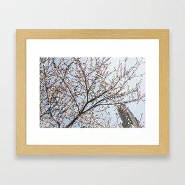 Cherry Blossoms in the spring Framed Art Print