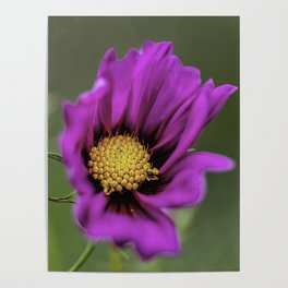 Purple cosmos opening up Poster