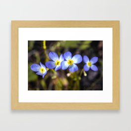 Four tiny bluet flowers Framed Art Print
