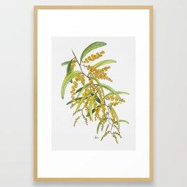 Australian Wattle Flower, Illustration Framed Art Print