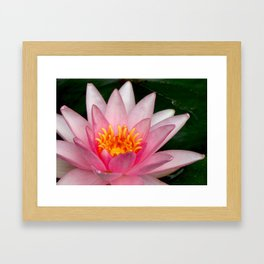 Pink Water Lily Framed Art Print
