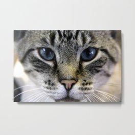 Close Up of a Curious Blue Eyed Cat Metal Print