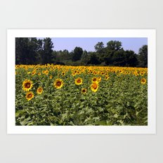 Field of Sunflowers Color Photography Art Print