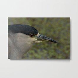 Black Crowned Night Heron Metal Print
