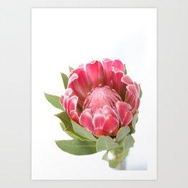 Dark Pink Protea Art Print
