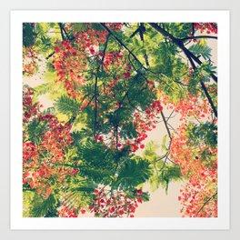 Royal Poinciana Colors Photograph Art Print
