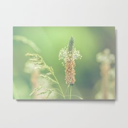 Ribwort Plantain Weeds // Flowers Metal Print