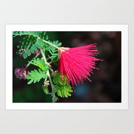 Calliandra Californica Art Print