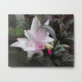 Pink Christmas Cactus Bloom Metal Print