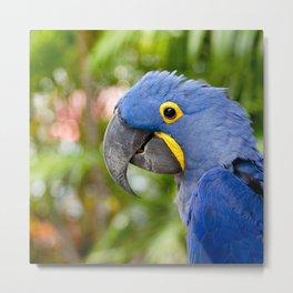 Blue Hyacinth Macaw - Anodorhynchus hyacinthinus Metal Print