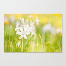 White Ornithogalum nutans pretty bloom Canvas Print