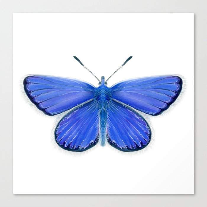 Adonis Blue Butterfly Watercolor Artwork Insect Painting Canvas Print