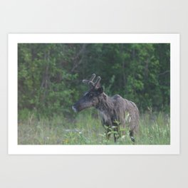 Caribou looking at you! Art Print