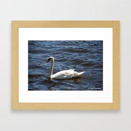 Swimming Swan Framed Art Print