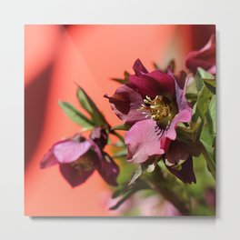 Lenten Rose and Calder Metal Print