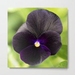 Sorbet Black Delight Viola Metal Print