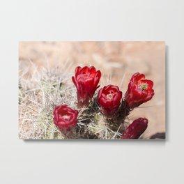 Cactus Flowers at Canyonlands, Utah Metal Print