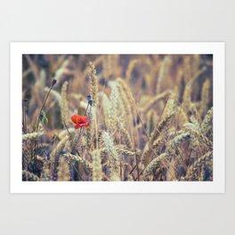 Wild Poppy in the Wheat Field Art Print