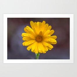 Yellow calendula under the rain Art Print