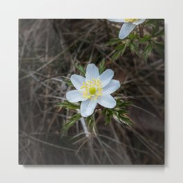 One beautiful little wood anemone outdoors from above Metal Print