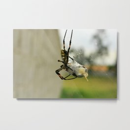 Orb Weaver Spider Wrapping a Bee Metal Print