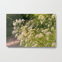 Flowering cow parsley (Anthriscus sylvestris) Metal Print