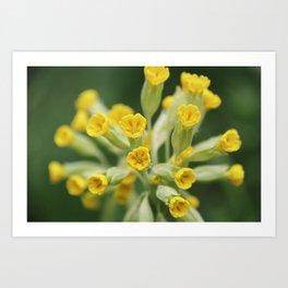 Yellow primula Art Print