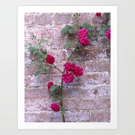 Blaze Climbing Rose Art Print