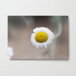Chamomile Bloom Metal Print