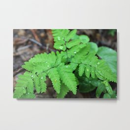 Northern Oak Ferns and Raindrops Metal Print