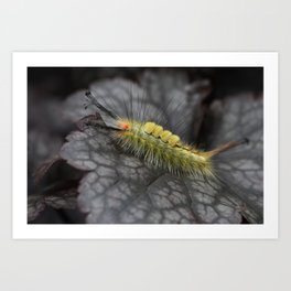 White Marked Tussock Caterpillar Art Print