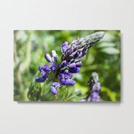 Spring Lupine Photography Print Metal Print