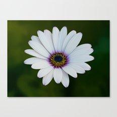 Blue Eyed Daisy Canvas Print