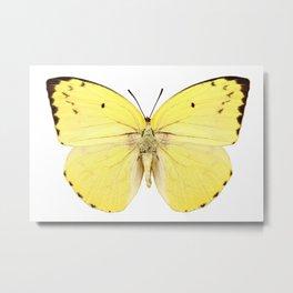 "Butterfly species Catopsilia pomona pomona ""Lemon Emigrant"" Metal Print"