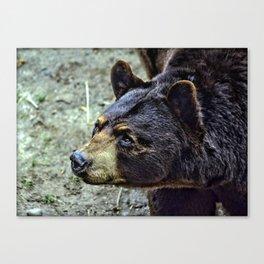 Maine Brown Bear Canvas Print