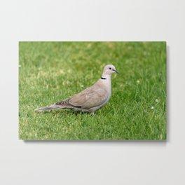 Grey Collared Dove Bird Metal Print