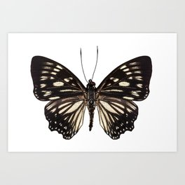 "Butterfly species Euripus nyctelius euploeoides ""Courtesan butterfly"" Art Print"