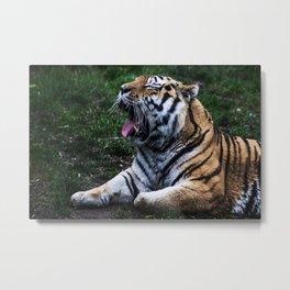 Tigers Roar Metal Print