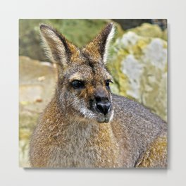 Red-Necked Wallaby Metal Print